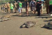Ket Poto, Sebanyak 4 ekor penyu hijau hasil tangkapan Polres Jembrana di lepas liarkan Pantai Perancak