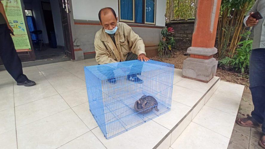 Ket Poto, petugas Konservasi Sumber Daya Alam (KSDA) Jembrana amankan seekor trenggiling
